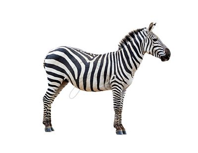 Profile Grevys Zebra Isolated on White