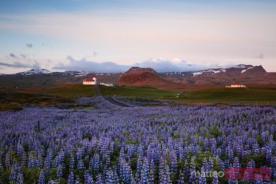 Lupine fields and church at sunrise, Snaefellsnes, Iceland