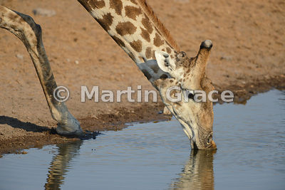 Plains Giraffe (Giraffa camelopardalis) drinking using the bent-knee posture, Etosha, Namibia