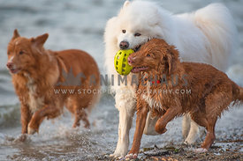 3 dogs running and playing with a ball in the ocean surf