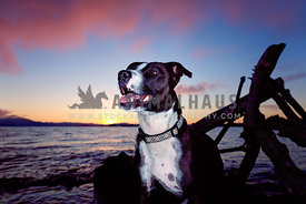 pit mix smiling along shoreline with driftwood background sunset