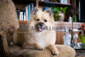 Pomeranian relaxing on an elegant chair