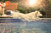 White dog jumping off deck into pool