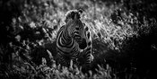 5073-Young_zebra_in_the_grass_Laurent_Baheux