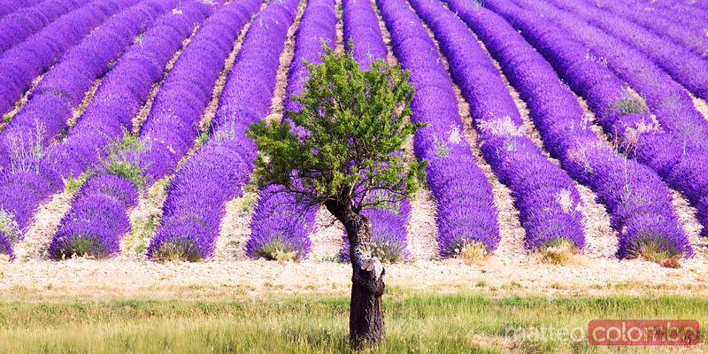 Tree in lavender field in summer, Provence, France