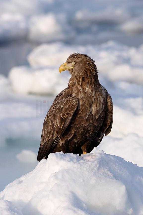 White-tailed Sea Eagle portrait Nemuro Channel Rausu Shiretoko Peninsula Hokkaido Japan