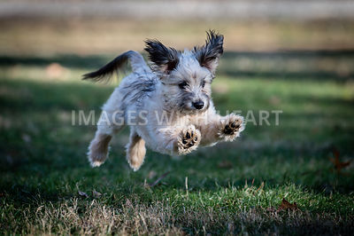 Small white shaggy dog soaring on grass