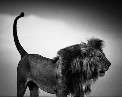 6993-Lion before storm 2, Kenya 2013 © Laurent Baheux
