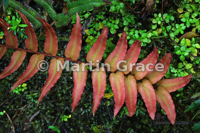Blechnum hastatum, the largest fern found in Parque Nacional Vicente Perez, Los Lagos, Chile