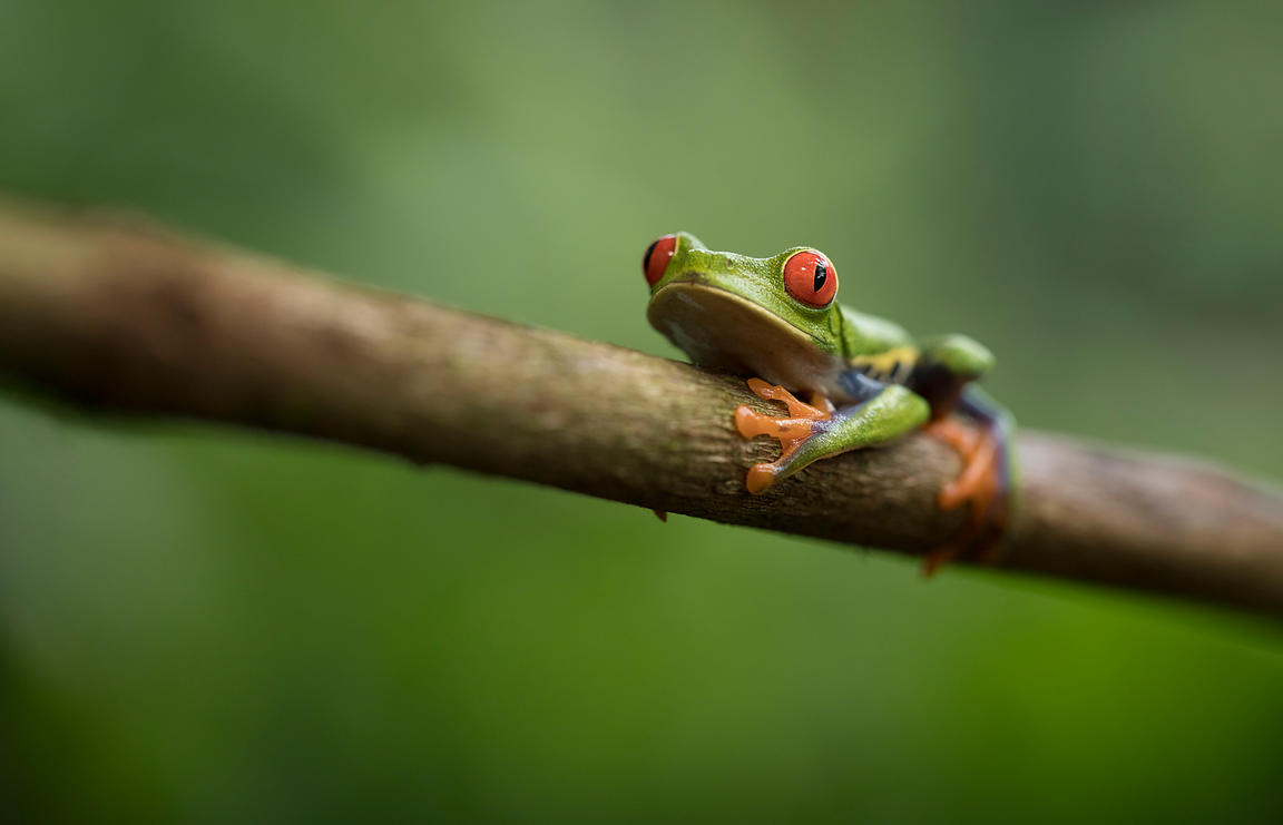 Probably the most iconic species of the rainforest, the Red Eyed Tree Frog