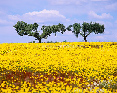 Cork trees in the vast plains of Alentejo, in Spring. Portugal
