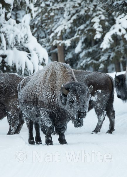 Frosted_Bison-1288_January_21_2018_Nat_White