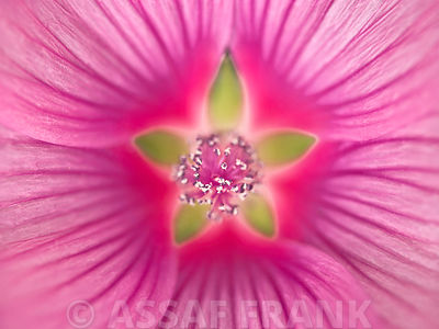 Close-up of Pink Lavatera Flower, full frame