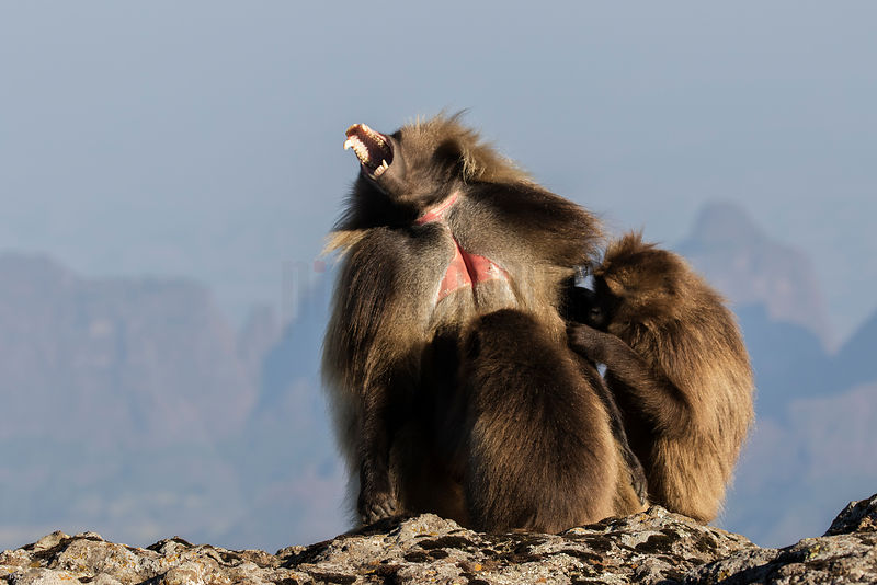 Adult Male Gelada being Groomed by Females