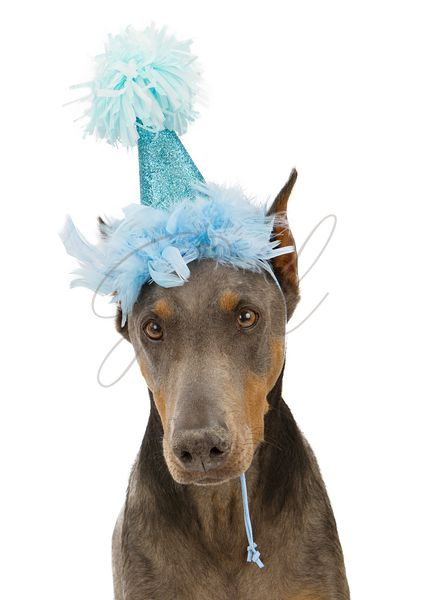 Doberman Pinscher Dog Wearing Party Hat