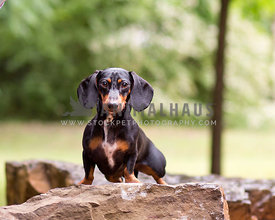 Black and Tan Doxie on stone rock outside