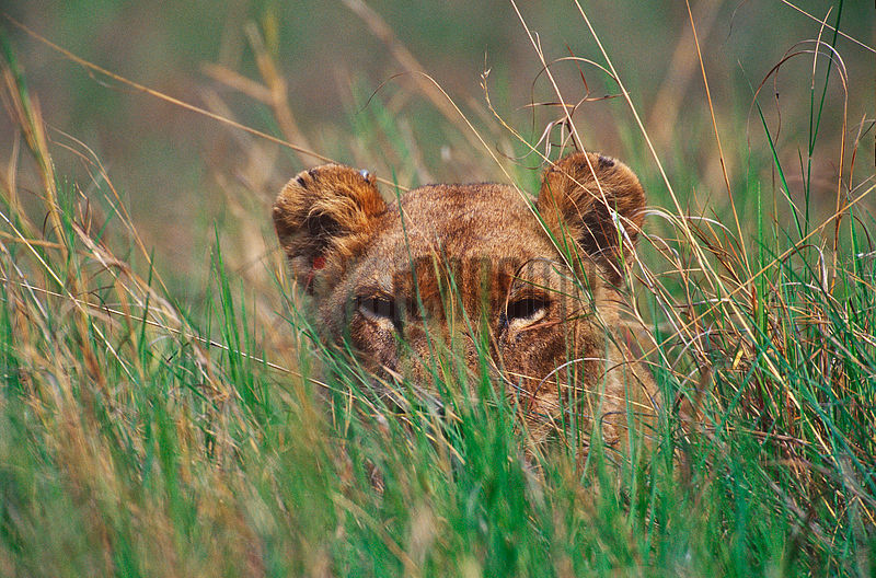 Lion Peeping out through grass