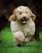 Four month old Cockapoo puppy running in garden.