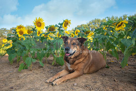 smiling, older, brown pitbull mix lying down in front of sunflowers blue sky in background