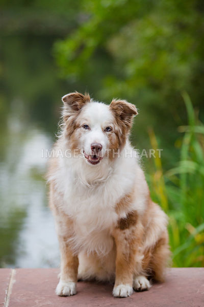 Smiling Dog In Front Of Pond Looking at Camera