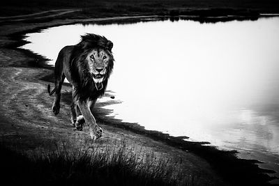5283-Free_lion_in_the_wild_Kenya_2013_Laurent_Baheux