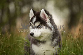 husky puppy looking to the side with soft background