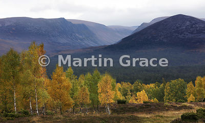 Lairig Ghru from Whitewell, with gold-burnished birches (Betula spp) in autumnal late-afternoon sunshine, Coylumbridge, Scott...