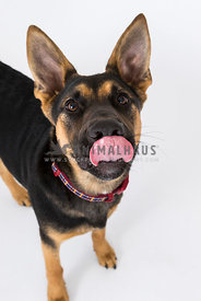 German shepherd mix puppy dog licking in studio
