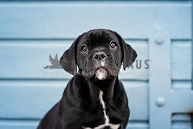 Cute little Cane Corso puppy portrait sitting in front of a blue door