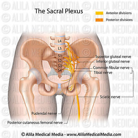 The sacral plexus.