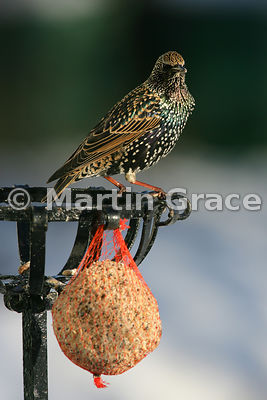 Starling (Sturnus vulgaris) in a Cumbrian garden with the sun shining on its iridescent plumage, Lyth Valley, Cumbria, England