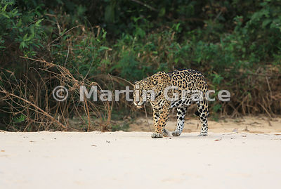 Female Jaguar 'Hunter' walks along the beach, Three Brothers River, Nothern Pantanal, Mato Grosso, Brazil. Image 46 of 62; el...