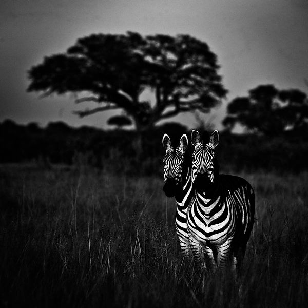 0030-Two_zebras_in_the_bush_Kenya_2013_Laurent_Baheux
