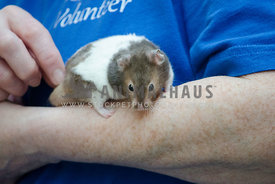 A small domestic rat rests on the arm of a shelter volunteer