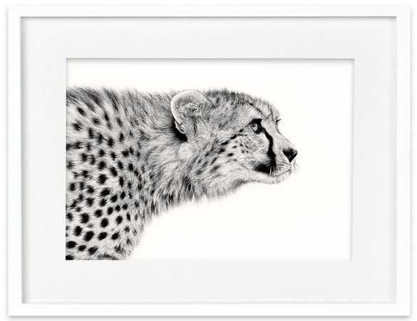 Cheetah | Africa on White