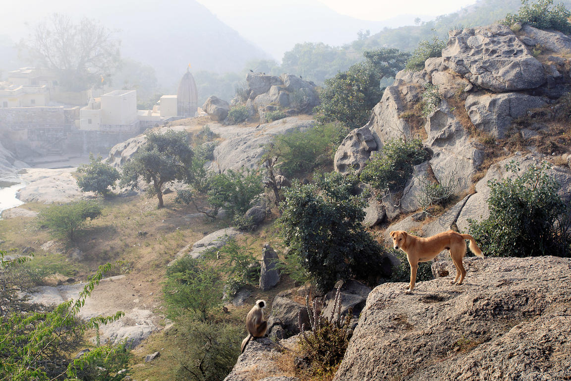 Pariah street dog in the wilderness near the 7th century Ajaypal Shiva Temple, near Pushkar, Rajasthan, India