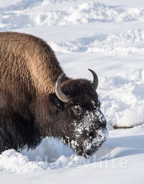 Bison_in_snow-1431_January_20_2018_Nat_White