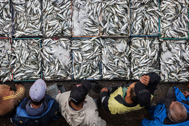Fresh Caught Sardines Ready to be Auctioned at the Casablance Fishing Port