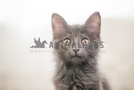 long haired gray kitten face