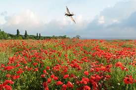 Spitfire over poppy field