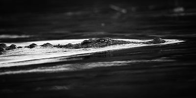 Crocodile under water, Botswana 2009 © Laurent Baheux