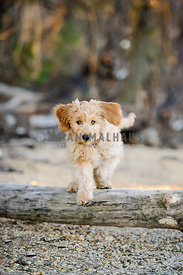 goldendoodle puppy jumping over log