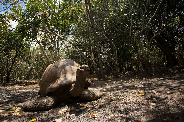 The largest Aldabra Tortoise on the island, known as 'Big Daddy'