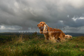 Lemon Cocker Spaniel side profile with moody clouds