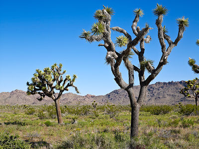Joshua_Tree_May10_182