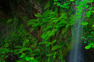 Ferns growing beside Lamina waterfall, Lamina, Saja Besaya Natural Park, Cantabria, Spain, Europe. May 2015.