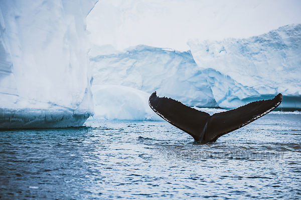 A humpback whale takes a deep dive in front of icebergs in the Ilulissat Icefjord