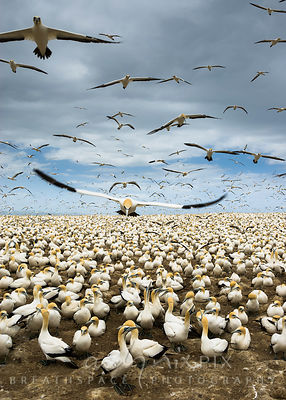 Bird (gannet) flying over gannets standing on ground in crowded gannet colony, other ganets flying in the sky above