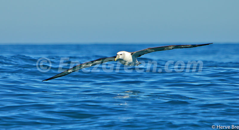 Buller's albatros New-Zealand