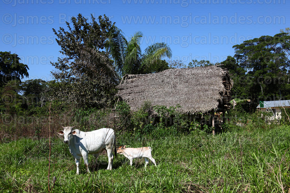 Cattle and palm thatch barn in countryside near Rurrenabaque , Beni , Bolivia